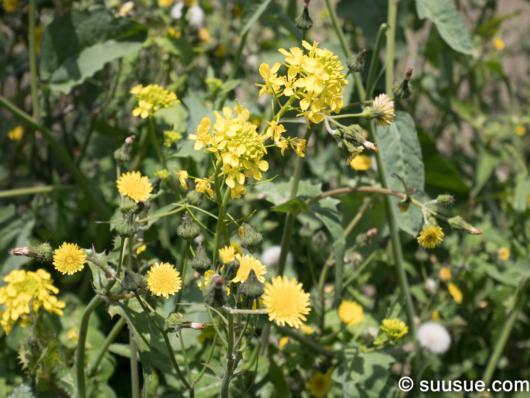 菜の花とタンポポ