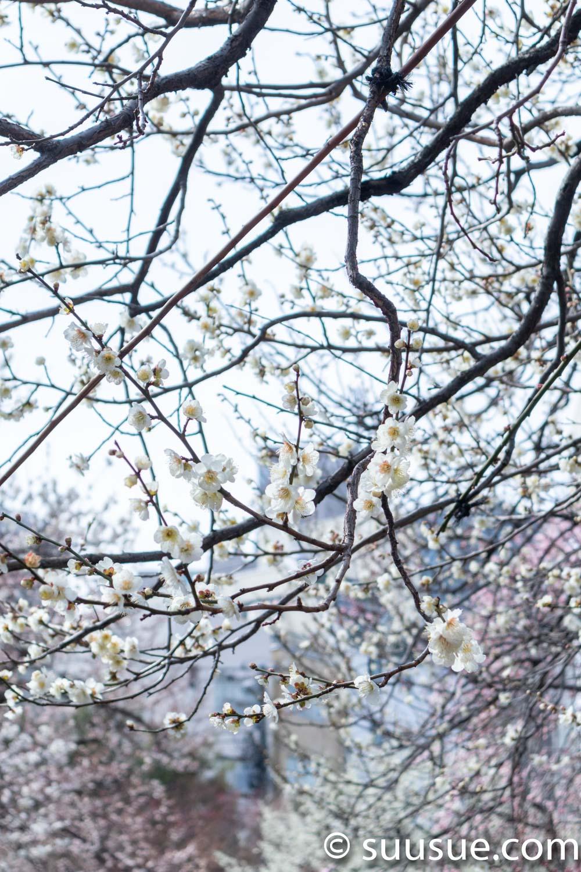 湯島天神 梅の花