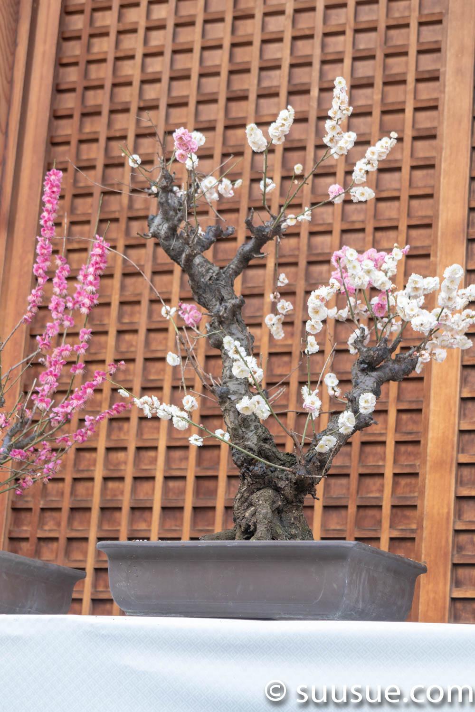湯島天神 梅の盆栽