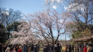 六義園 しだれ桜1 正面