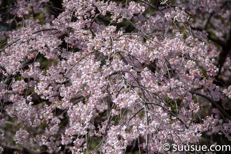しだれ桜1 望遠