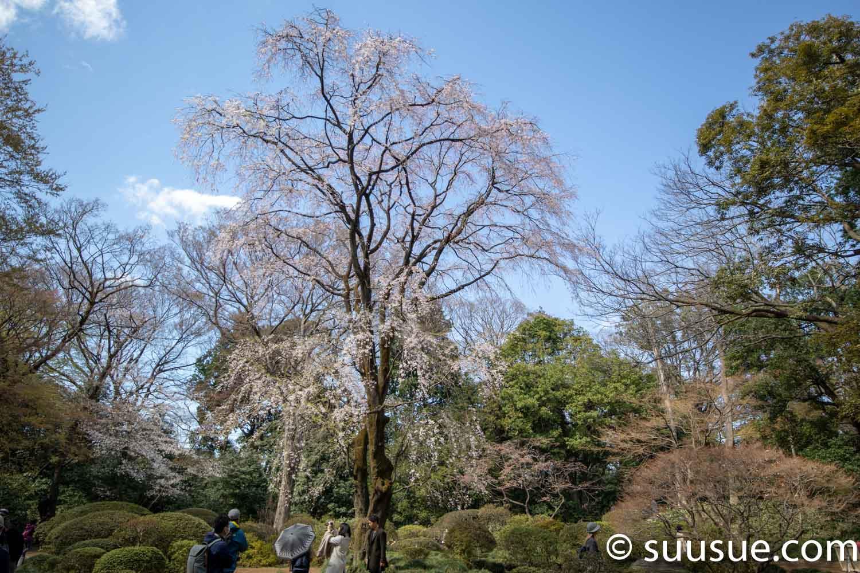 六義園 しだれ桜2