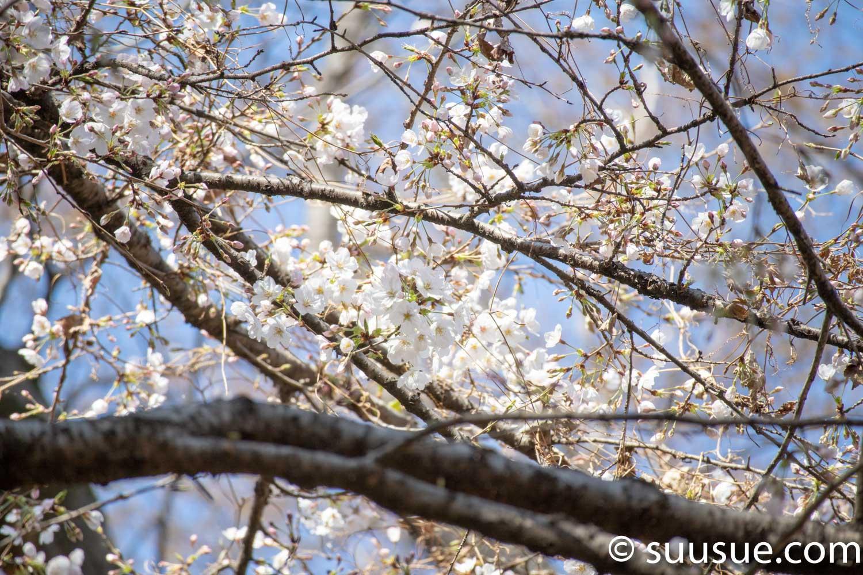 六義園 しだれ桜2 望遠