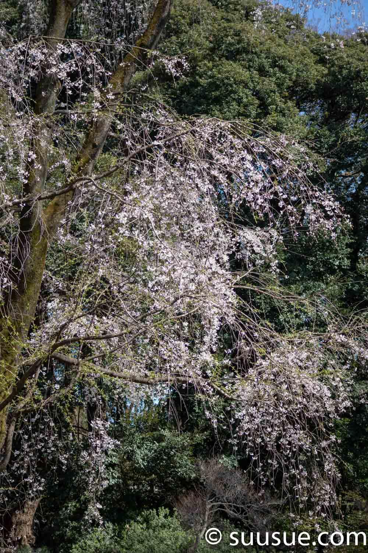 六義園 山桜
