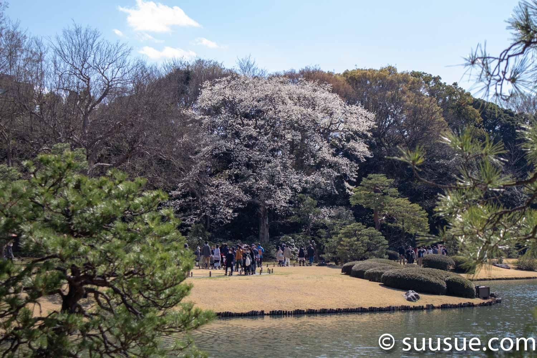 六義園 桜遠景